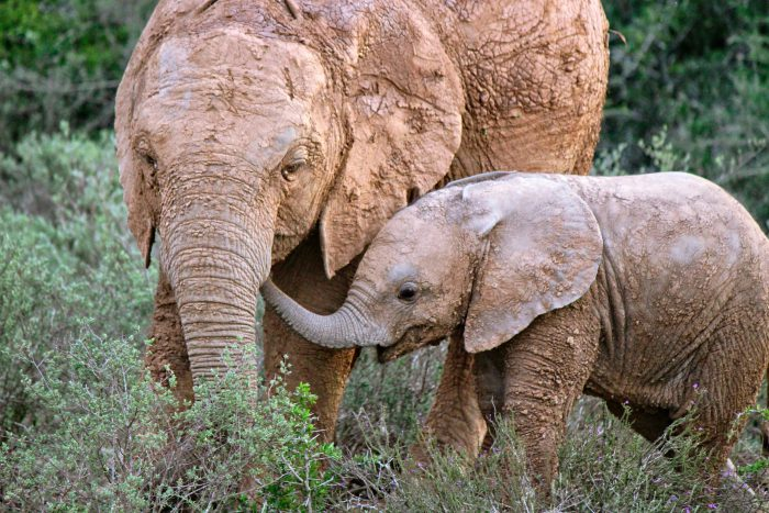 Baby Elephant with her mom