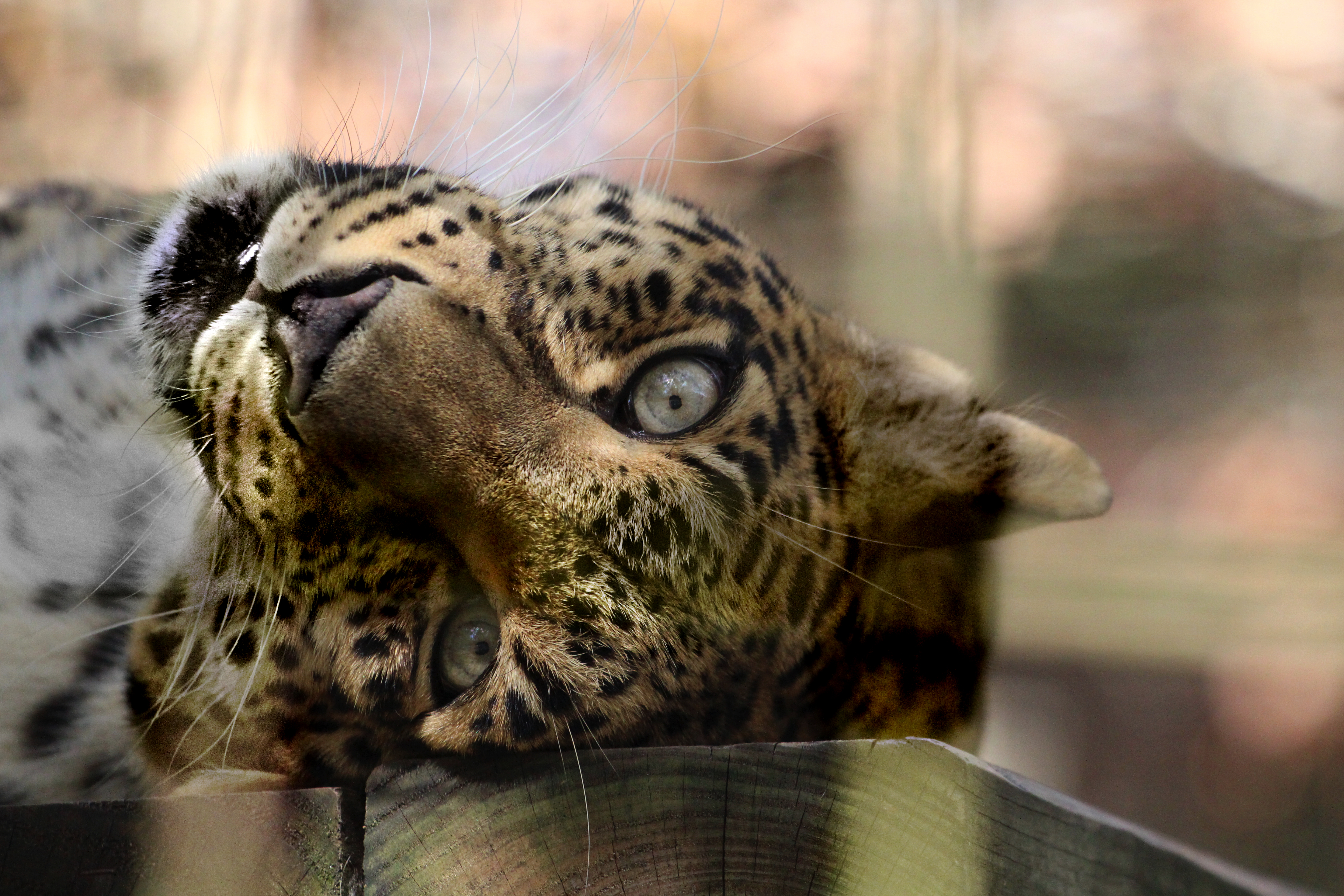 Leopard Sudari Big Cat Rescue Tampa