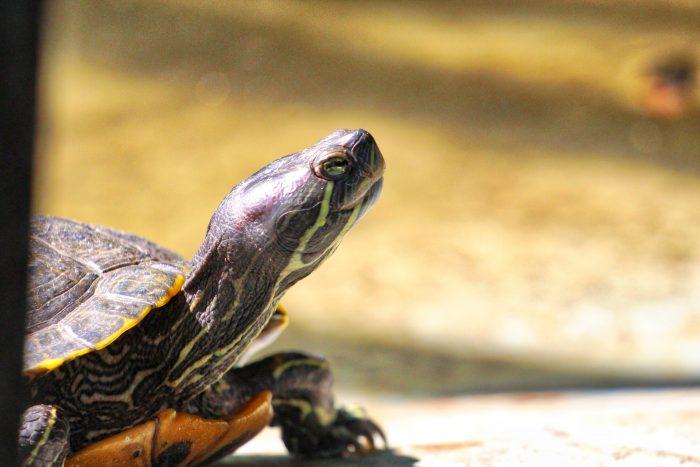 Suncoast Primate Sanctuary Turtle