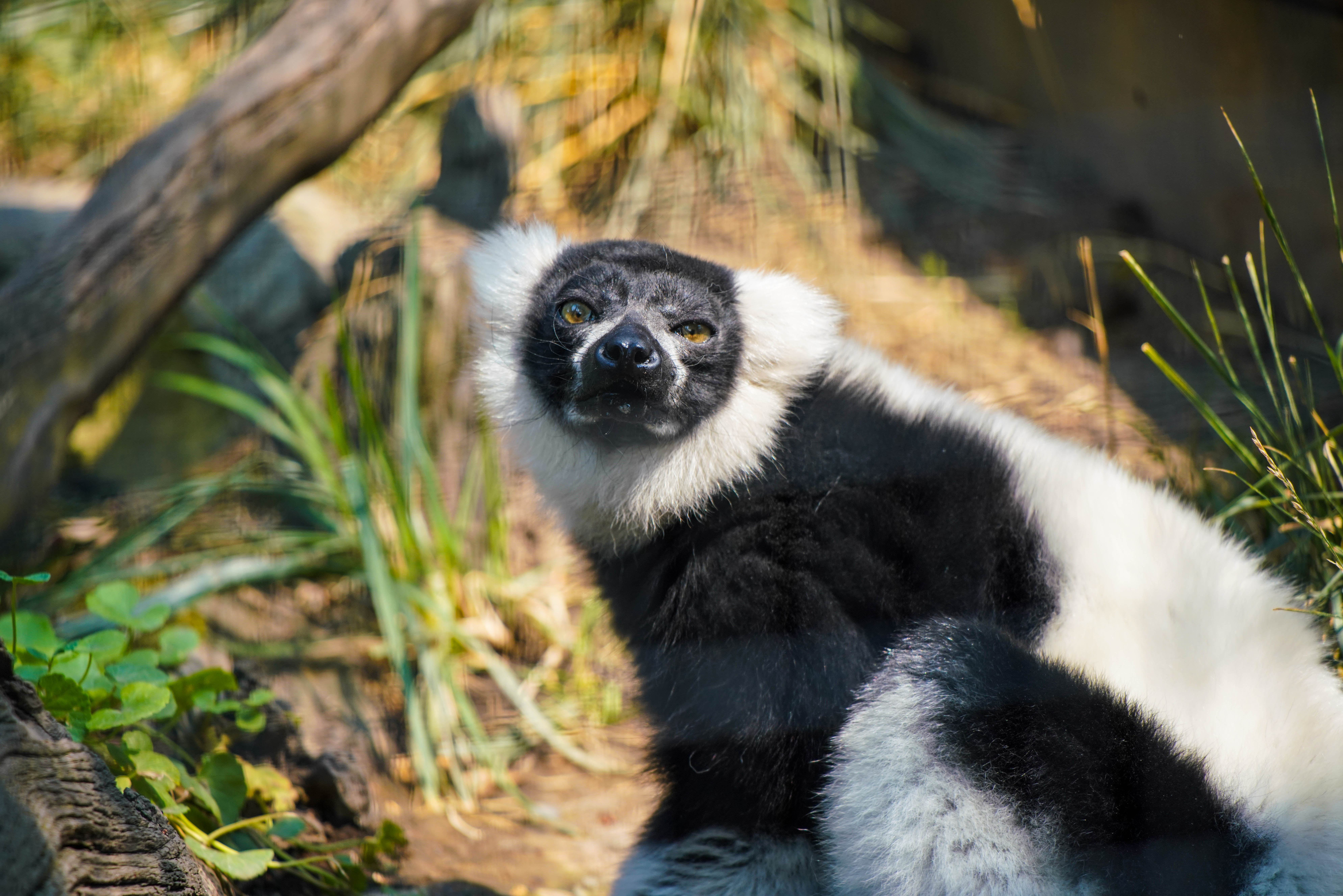 Safari West Lemur