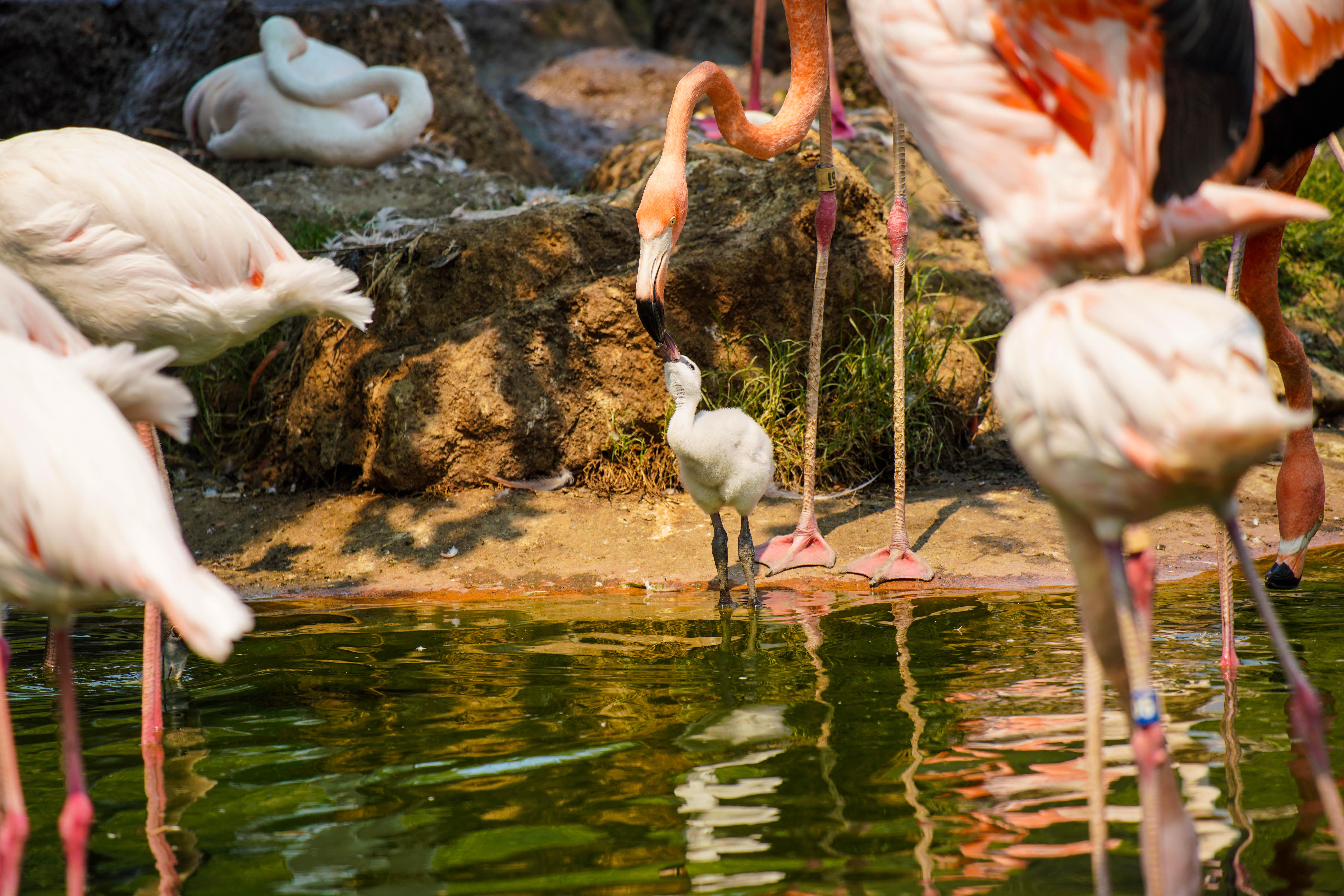 Safari West Flamingoes