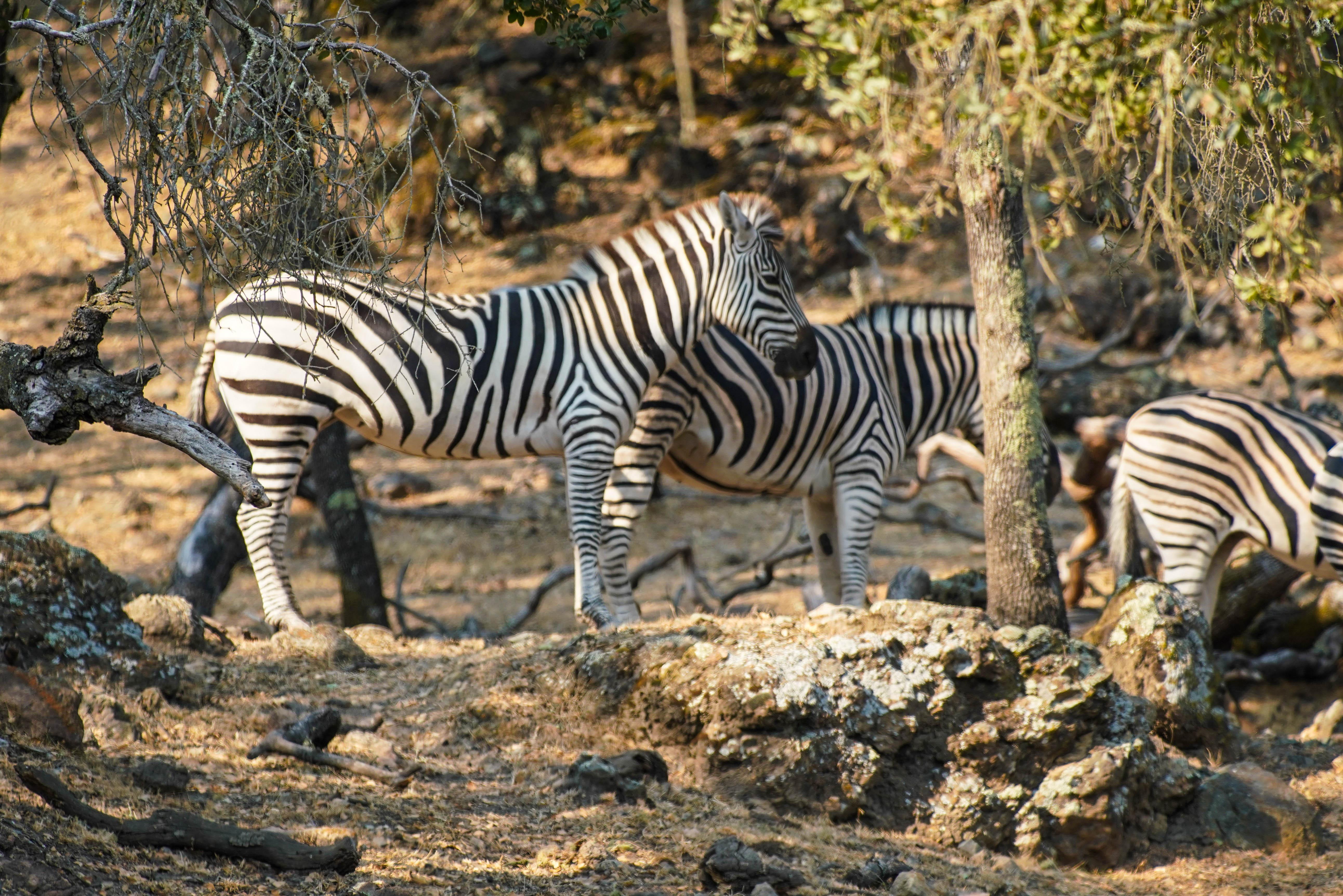 Safari West Santa Rosa Zebra